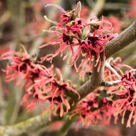 pink witch hazel